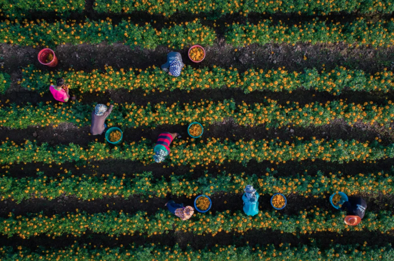 Marigolds dronestagram