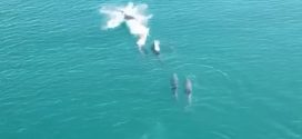 Drone Footage Captures Rare Dolphins off a Welsh Coast